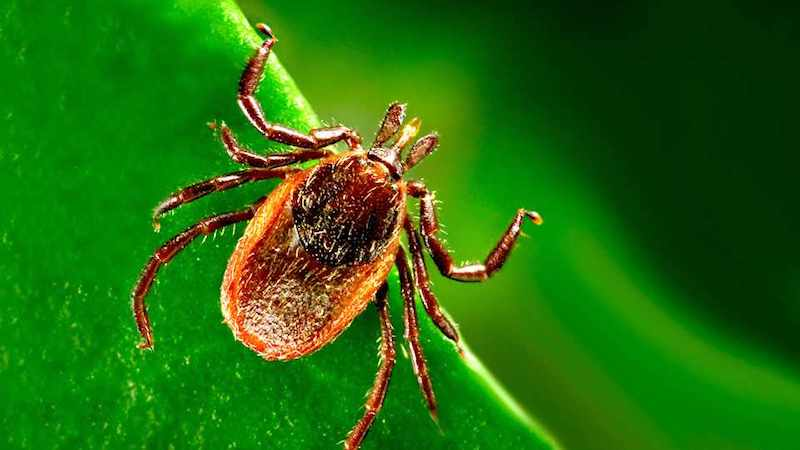 No Autism Is Not Caused By Lyme Disease >> Lyme Disease Vaccine On The Way If Only The Anti Vaxxers Stay Away