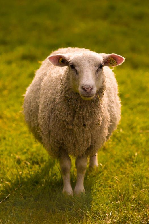 sheep vaccine