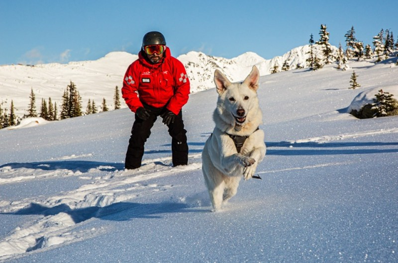 whistler blackcomb dog
