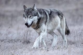 Banff Lake Louise grey wolf
