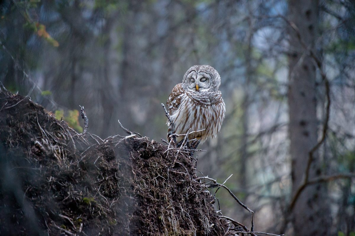 Banff Lake Louise barred owl