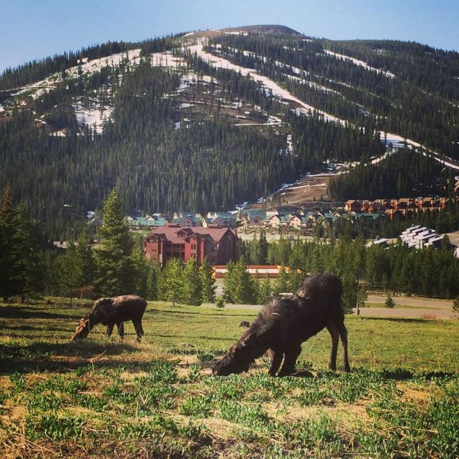 Big Sky moose