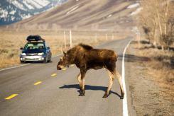 Jackson Hole wildlife moose