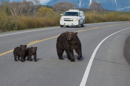 Jackson Hole wildlife grizzly and cubs