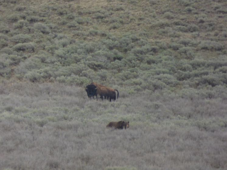 Yellowstone bear and bison