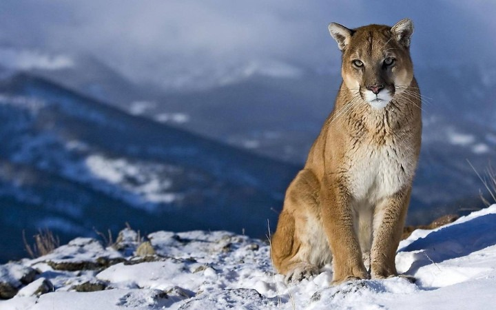 wildlife Banff National Park, mountain lion banff national park