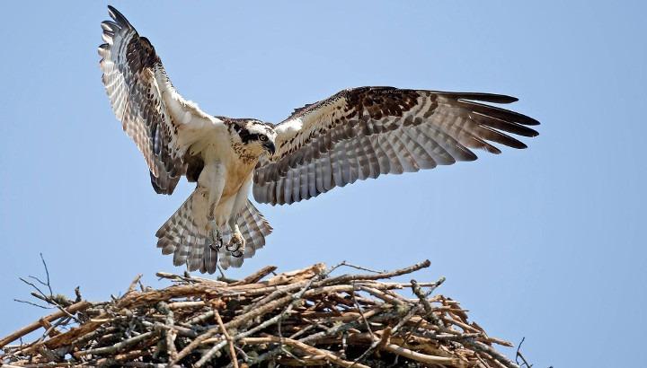 osprey banff national park