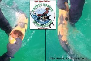 Rare piebald tarpon caught in Tampa Bay, Florida by Capt. Robert McCue.