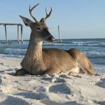 Panama City, The Vacation Capital of the World…For Deer!