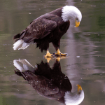 Amazing Eagle pic by James C Geddes.