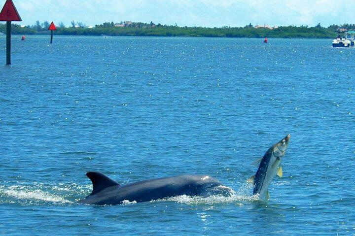 snook ambush dolphinsnook ambush by dolphin