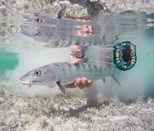 Killer shot of a bone fish . . . . . . . . …