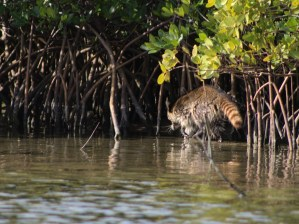 Locals disappearing into the mangrove roots..                …