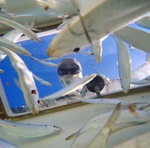Team Barracuda. Aka, every baitfish's worst nightmare   …