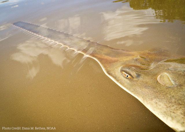 Sawfish Photo by Dana Bethea