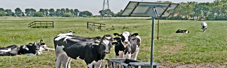 cows drinking with sun energy pannels for heating