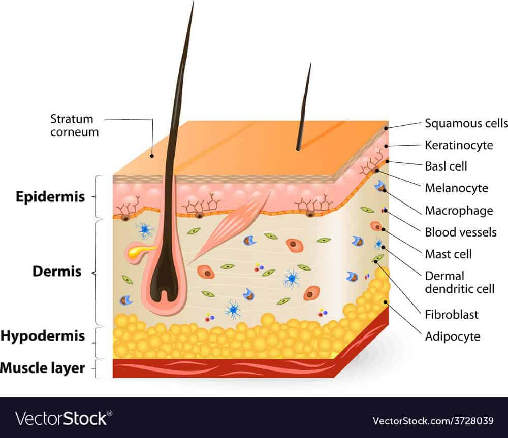 Glycolzuur dringt door tot in de epidermis