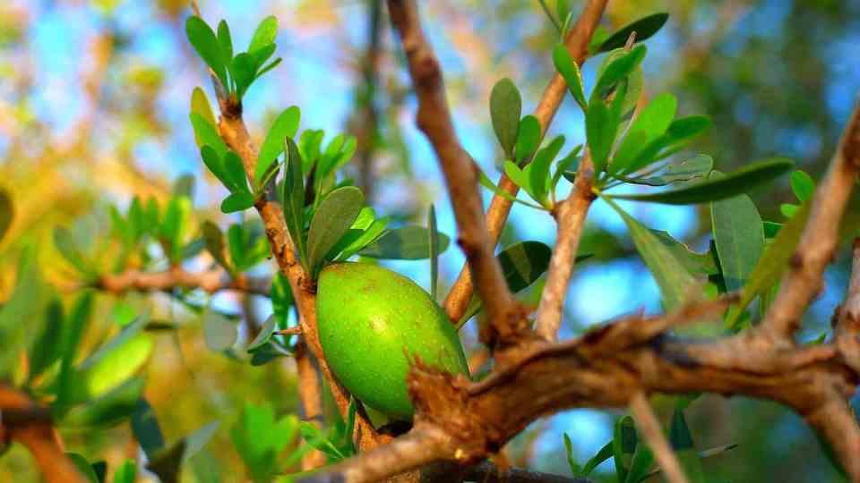 arganvrucht, arganolie, geperste arganolie, marrokaanse arganolie, vitamine E, antioxidant, carotenoïden, droge huid, hydraterend, verzorgend