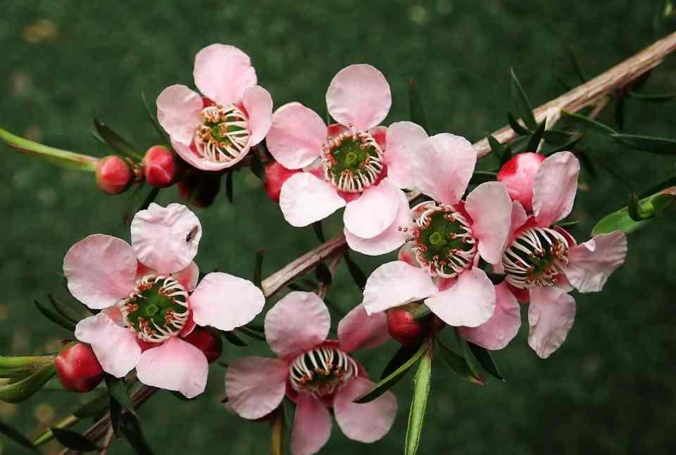 tea tree bloem, tea tree plant, tea tree olie, acne, ontstekingsremmend, histamine remmend, droge huid, vette huid, rosacea, acne