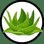 Organic Aloe Vera as Ingredient in Organic Body Lotion