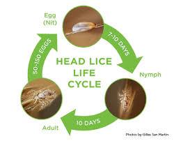 Pediculosis - Head Lice