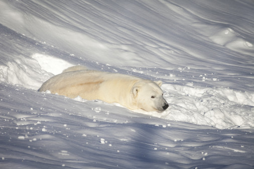Ny isbjørn i Orsa Grönklitt