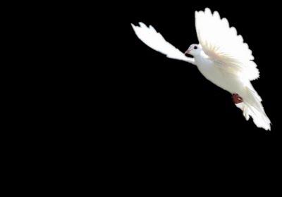 dove soaring freely