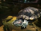 Rödörad vattensköldpadda
