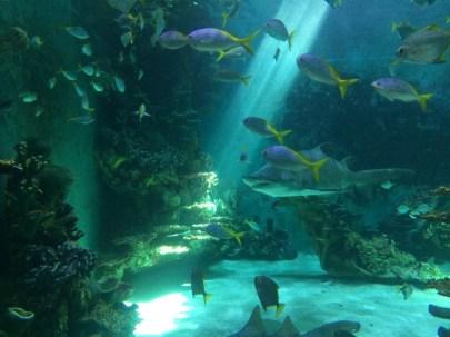 Stort akvarium med bl.a. Sandtigerhajar
