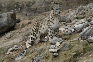 Ein snøleopard