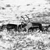 POrcupine Caribou, Fall migration