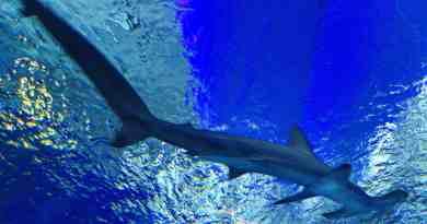 Hammerhai im National-Aquarium
