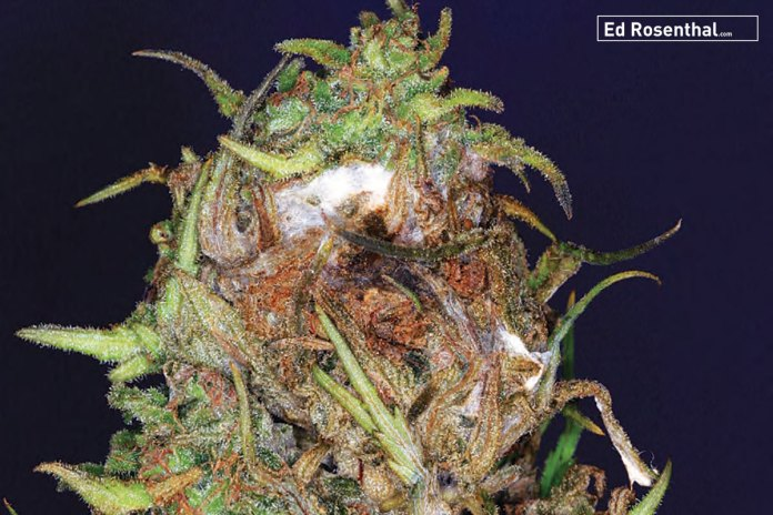Bud is suffering from Botrytis as well as powdery mildew