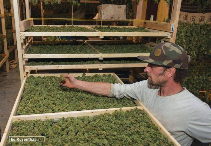 Commercial cannabis drying space. Photo by Rick Horn.