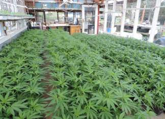 Lady Sativa Farms in Garberville