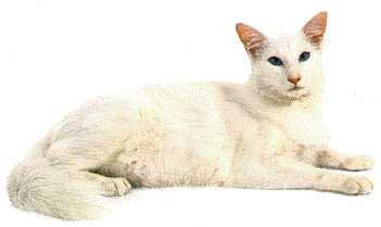 Pangur Ban Translated means White Cat