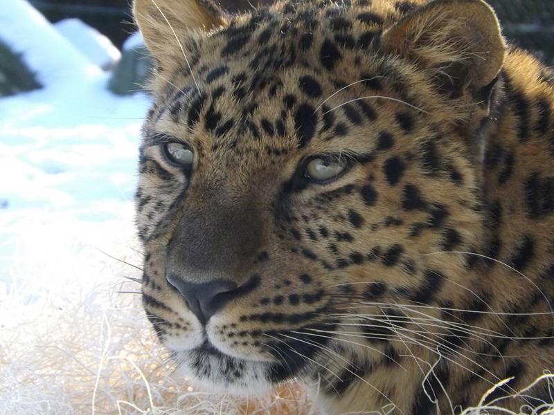 Kids Leopard Amur Facts