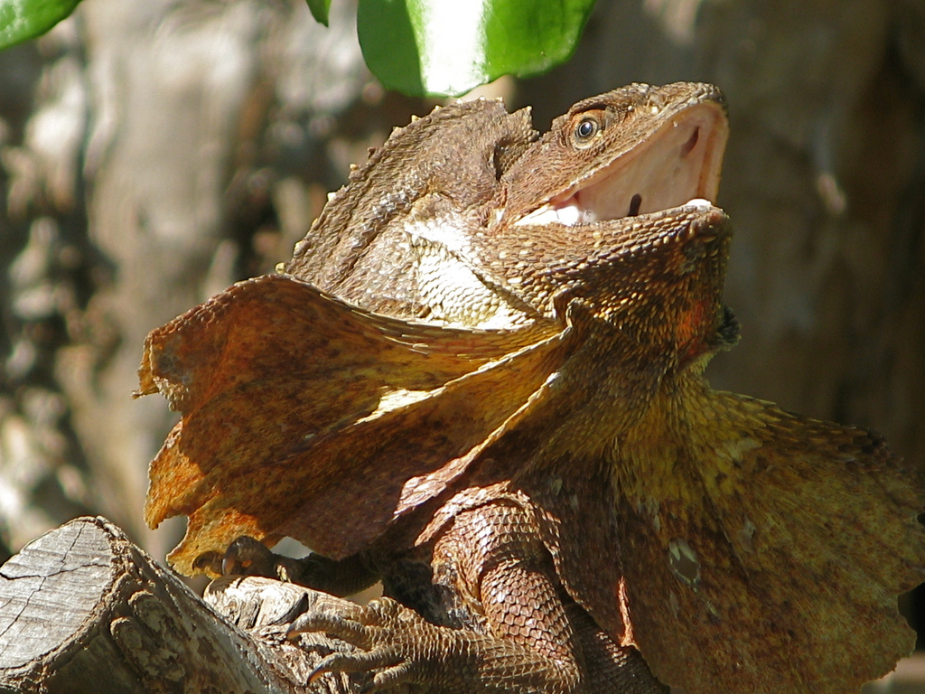 lizard frilled lizard info photo 2