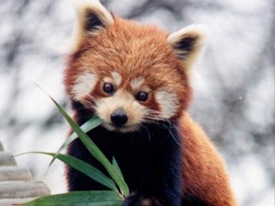 red panda info photo 35