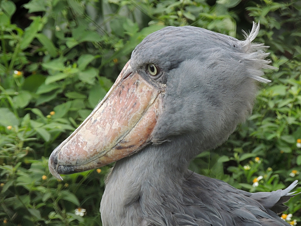 Shoebill Info Photo 3