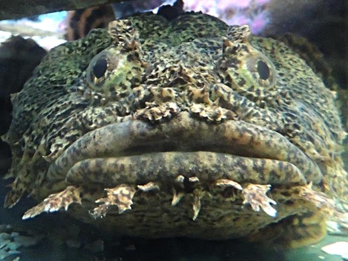toadfish information for kids