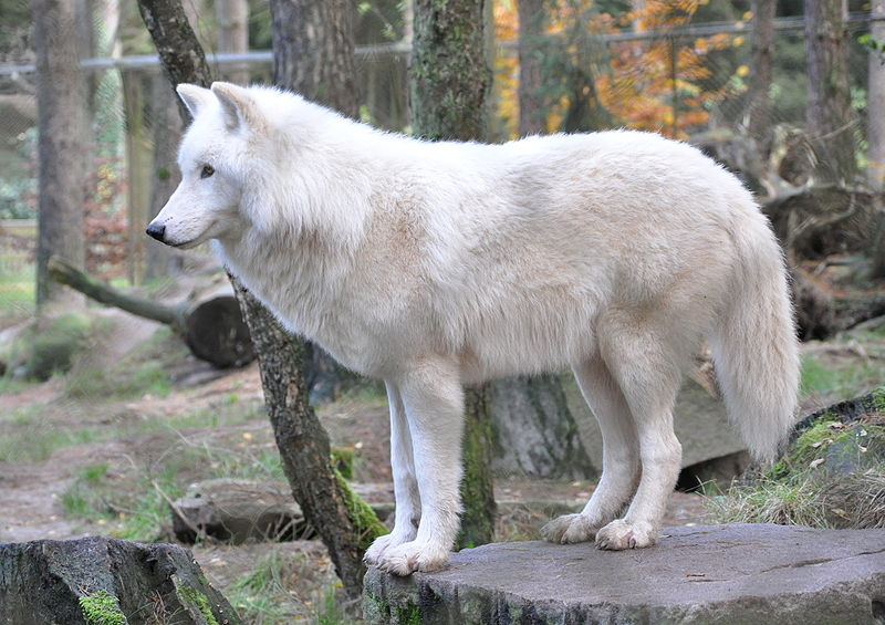 wolf arctic wolf information for kids