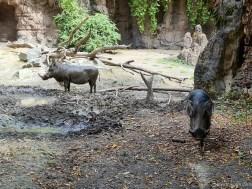 Warthog at Seattle Zoo