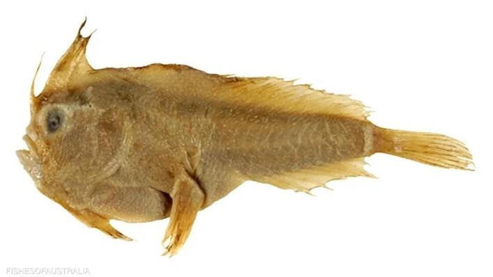 السمكة التي أمسك بها فرانسوا بيرون عام 1802