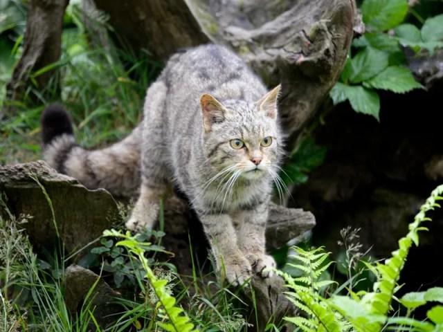 القط الإنجليزي البري يعود بعد إعلان انقراضه.