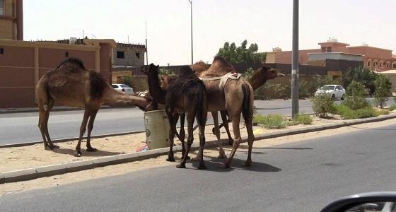 """بالفيديو .. إبل سائبة تتجول في شوارع """" أضم """" والبلدية: منتشرة بالأرياف"""