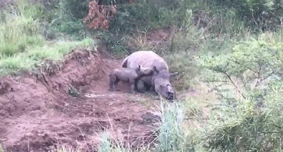 فيديو مؤثر لصغير وحيد القرن يرضع من والدته المقتولة