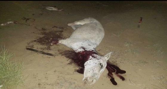 بالصورة.. القبض على عمالة تذبح حمارا في منطقة خالية بجازان