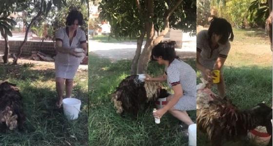 بالفيديو.. سما المصري تسقط أرضا أثناء مطاردة خروف العيد