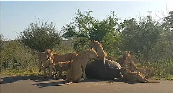 بالفيديو.. جاموس يقاوم مجموعة من الأسود في محاولة لافتراسه